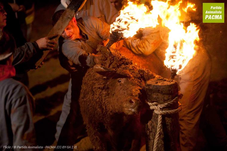 Toro Júbilo - Spaniens Festival der Tierquälerei