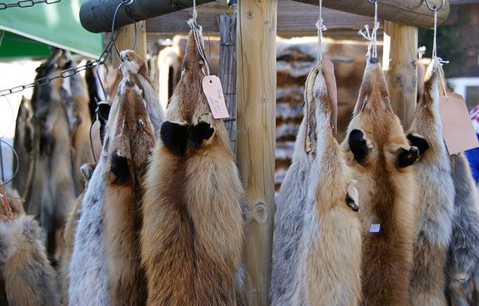 Fuchs Jagd barbarisch
