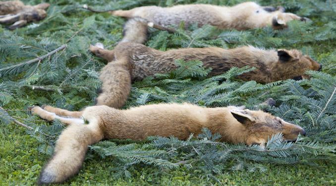 Fuchsjagd tote Tiere