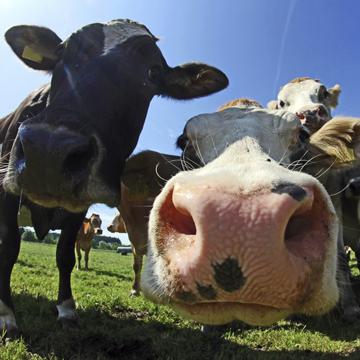 Milch von glücklichen Kühen: eine Illusion?