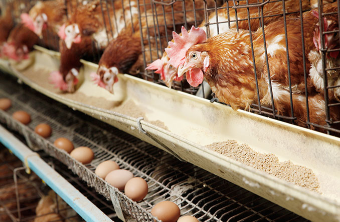 In der Geflügelproduktion bleiben Eintagsküken in Maßen über