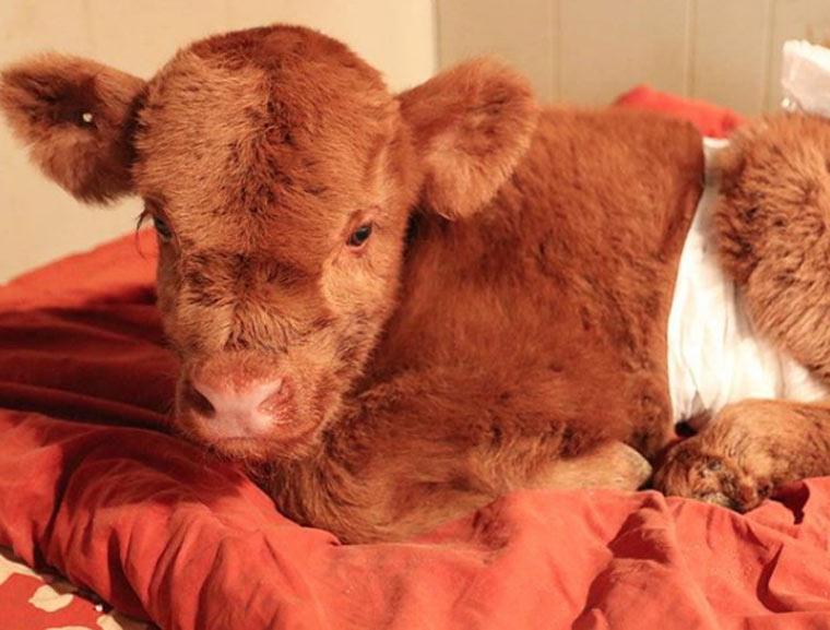 Vorsicht Kuschelalarm - Highland Cattle Babys