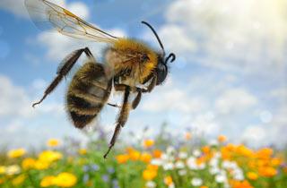 Schlauer als gedacht: Bienen können sich der Umwelt anpassen