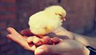 Tausende Küken schlüpfen aus weggeworfenen Eiern
