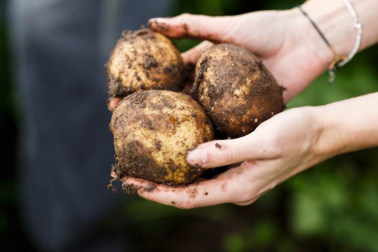 Kartoffeln in Haenden