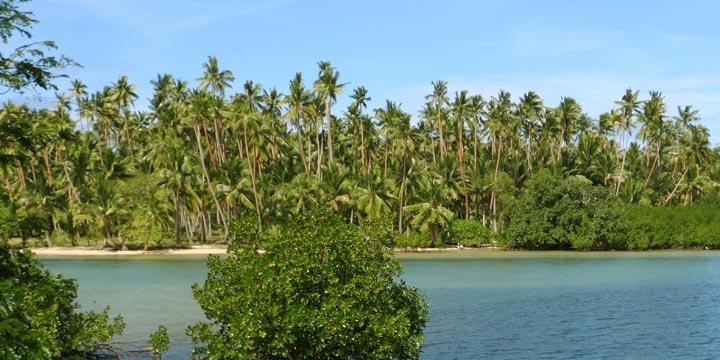 Die Kokospalme: Der Baum des Lebens