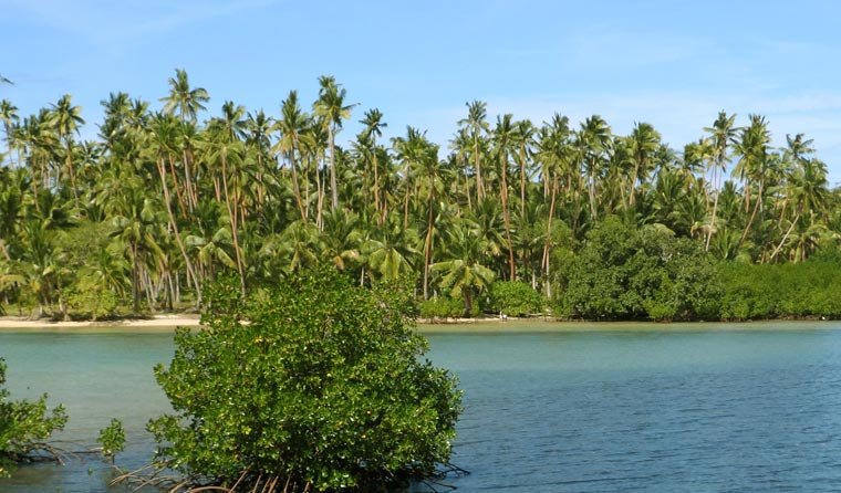 Die Kokospalme wächst in den tropischen Regionen dieser Erde