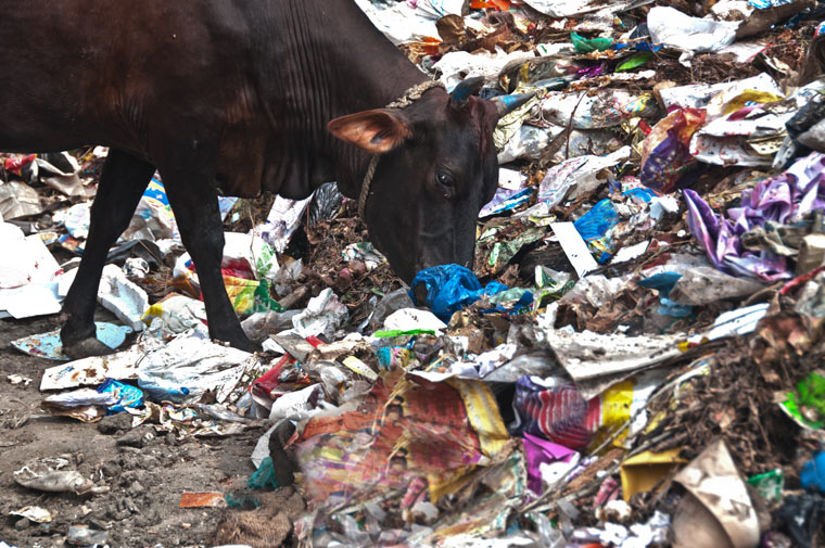 Kühe fressen Plastikmüll