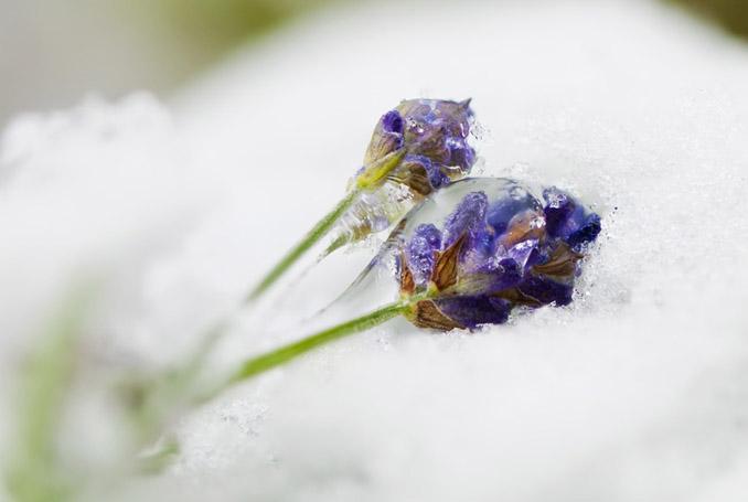 Frost Eisblumen Lavendel