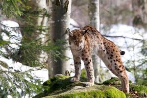 Luchs im Bayerischen Wald ©Pal Teravagimov/iStock/Thinkstock