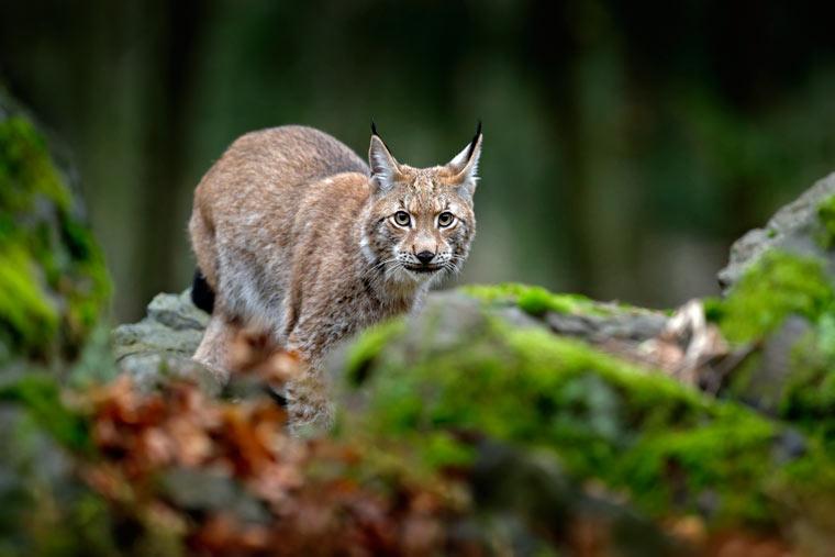 Primärwälder sichern auch das Überleben vieler gefährdeter Tierarten wie Braunbären, Luchse oder Wölfe