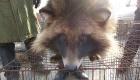 Vorsicht Pelz! das Leid asiatischer Zuchttiere