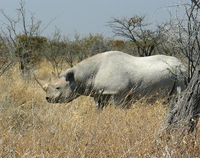 Nashorn in der Wildnis