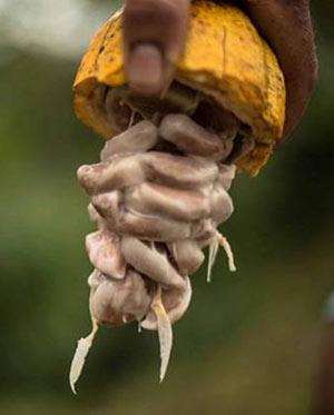 Das Fruchtfleisch (Pulpa) in einer aufgeschlagenen Kakaofrucht