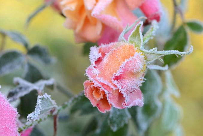 Frost Eisblumen Rose