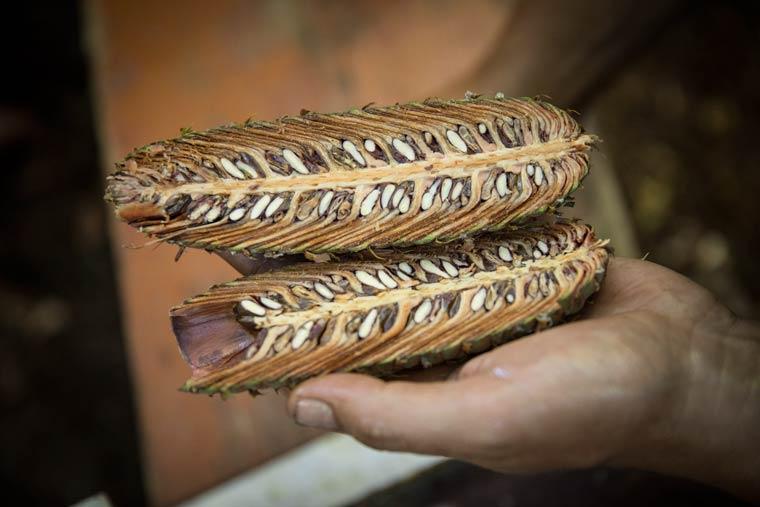 Saatgut für Nordmanntannen