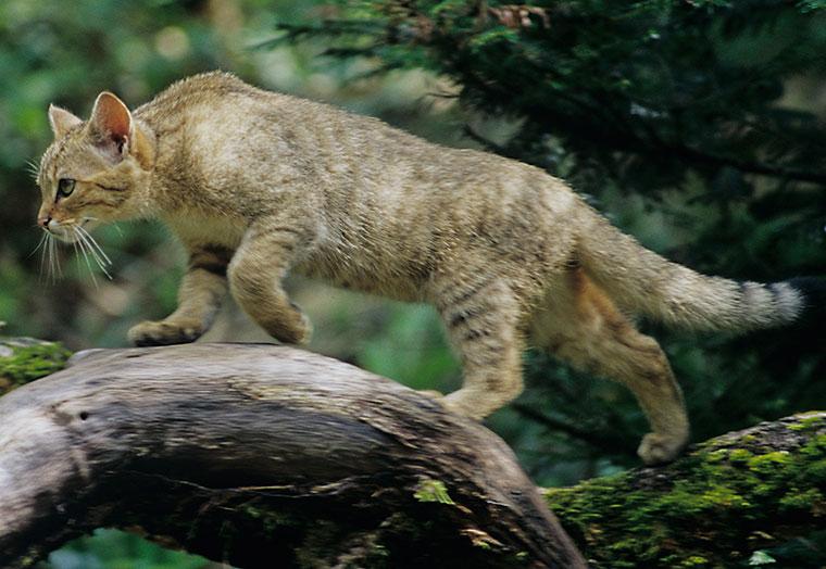 Das Fell der Wildkatze ist meist eher verwaschen, auffällig ist der buschige Schwanz