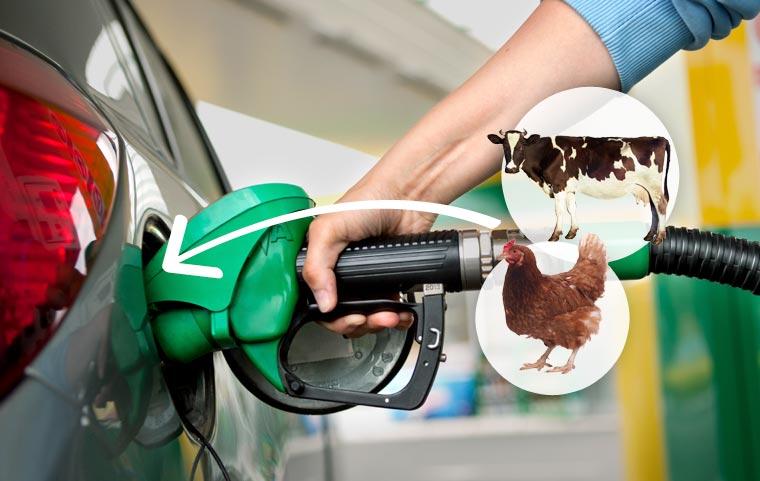 Biokraftstoffe aus tierischen Fetten - Tanken wir bald Tier?