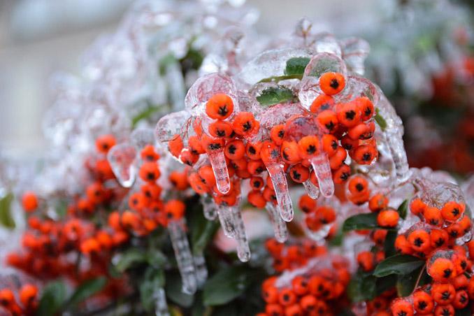 Frost Eisblumen Vogelbeere