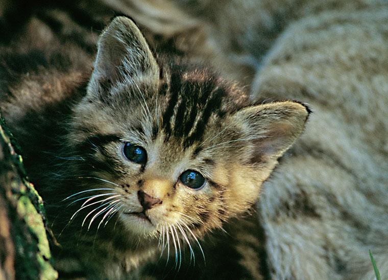 Wie sehen Wildkatzen aus?