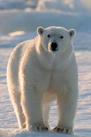 Die Eisbären sind vom Aussterben bedroht, denn das arktische Eis schmilzt in rasanter Geschwindigkeit