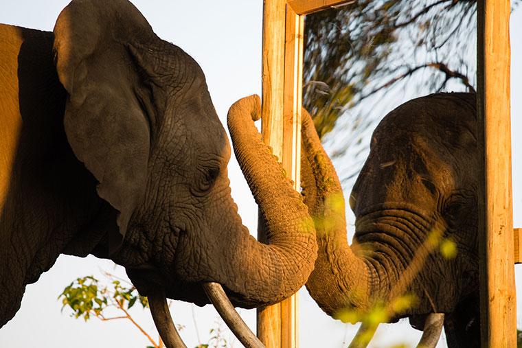Elefanten können sich selbst im Spiegel erkennen ? sie haben also ein Bewusstsein für sich selbst