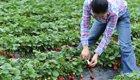 Erntehelfer leiden unter schwersten Arbeitsbedingungen