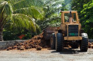 Palmöl-Produktion hat verheerende Folgen