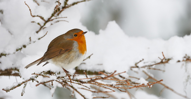 Ein Rotkehlchen im Schnee