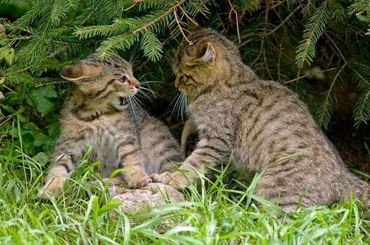 Wildkatzen in Aktion  - so sehen Wildkatzen aus