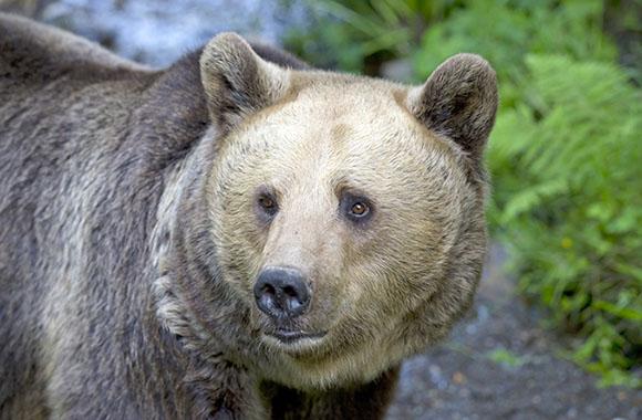 TV-Tipp: Bären auf dem Vormarsch