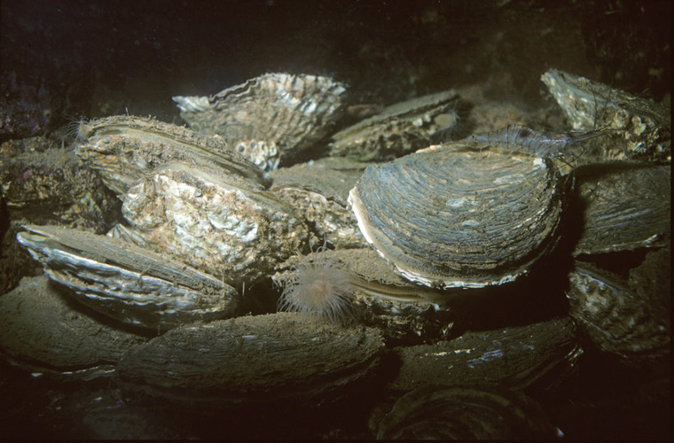 Kommt die Auster zurück in die deutsche Nordsee?