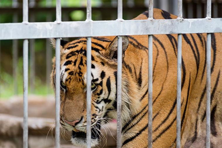 Tiger hinter Gitter