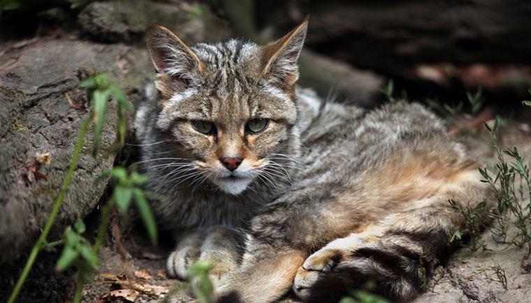 Wildkatzen gehoeren zu den bedrohten Tierarten