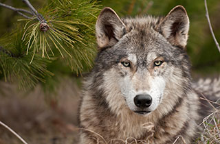 Die Wolfspopulation wächst langsam weiter