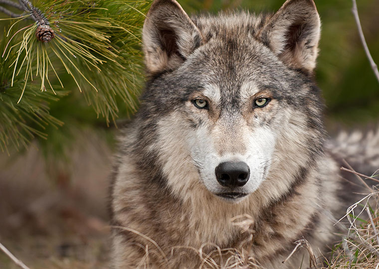 Ist der Wolf gefährlich für den Mensch?