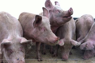Nachhaltiger Wurstkonsum: «Hinter jedem Fleisch steckt ein Tier!»