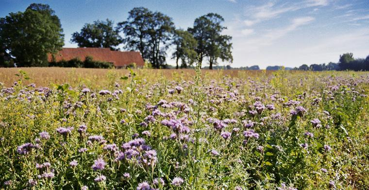 Blühwiese für Bienen