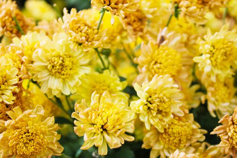 Chrysanthemen können Erbrechen, Gleichgewichtsverlust oder Hausentzündungen auslösen