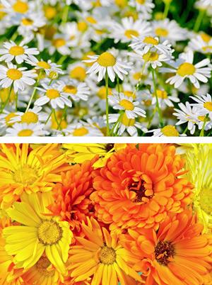 Kamille und Ringelblumen