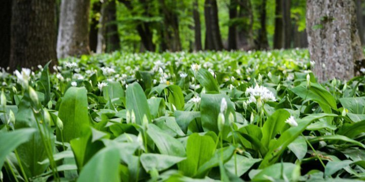 Bärlauch sicher sammeln & ernten: Tipps gegen eine Verwechslung mit Maiglöckchen