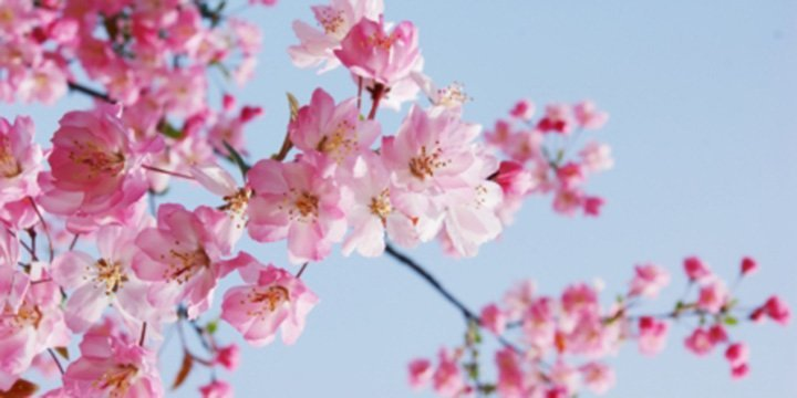 Fast vergessene Schönheit: Wild-Apfel ist Baum des Jahres 2013